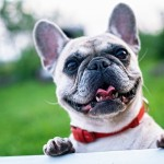 french-bulldog-1482630_640