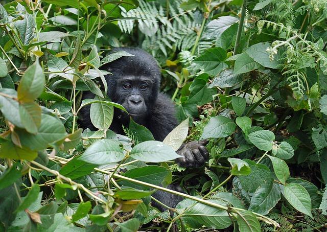 gorilla-1386501_640