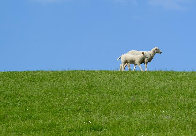 sheep-3395705_640