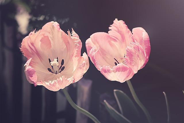 tulips-3339416_640