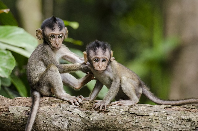 monkeys-768641_640