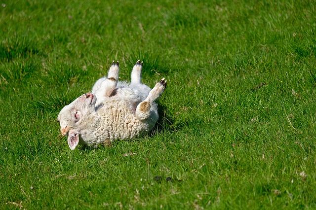 lamb-4136278_640