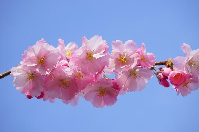 japanese-cherry-trees-324187_640