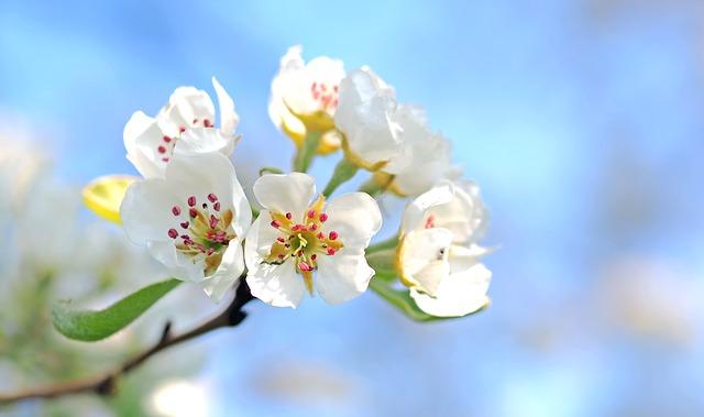 apple-blossoms-1368187_640