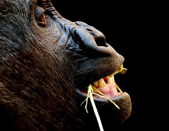 gorilla-2691602_640