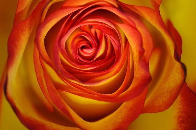 rose-3197587_640