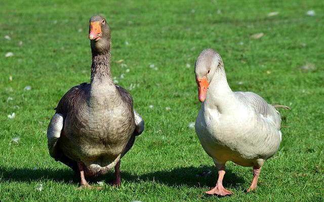 goose-3349427_640